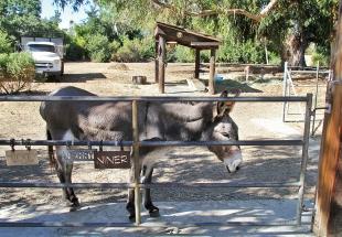 Beloved Palo Alto donkey dies at 32 | News | Palo Alto Online |